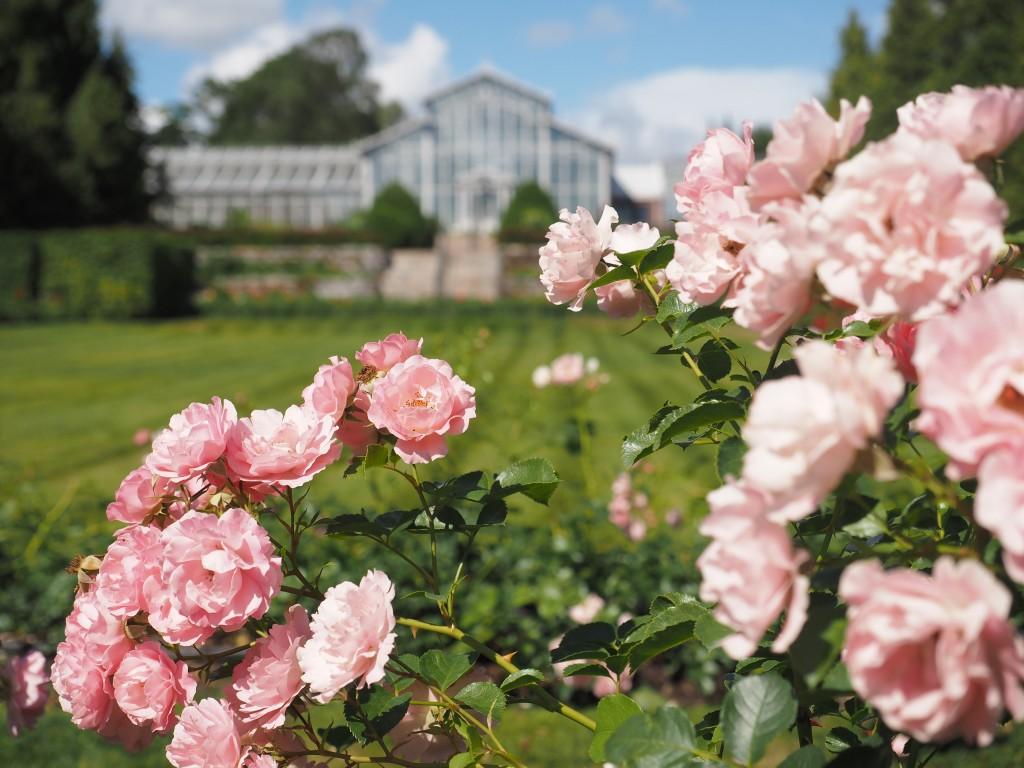 Ruusutarha kukkii